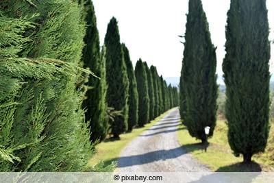 Säulenzypresse - Cupressus sempervirens