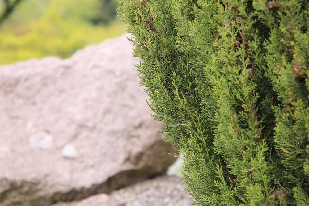 Säulenzypresse - Cupressus sempervirens 'stricta'