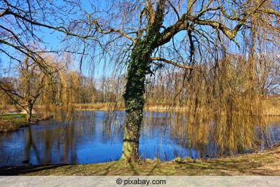 Trauerweide - Salix alba 'tristis'