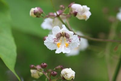 Blüte des Kugel-Trompetenbaums