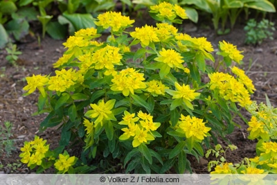 Gold-Wolfsmilch - Euphorbia polychroma