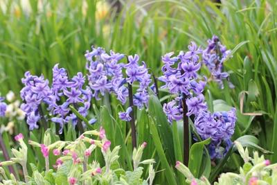 Hyazinthe im Garten