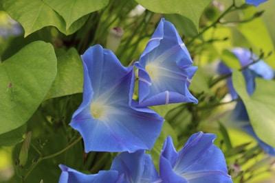 Blaue Prunkwinde - Ipomoea tricolor