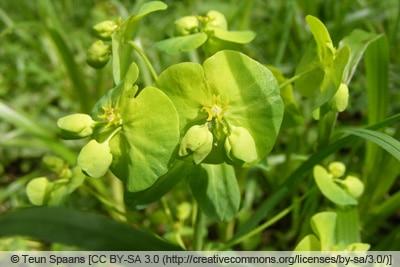 Mandel-Wolfsmilch - Euphorbia amygdaloides