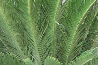 Palmfarn - Cycas