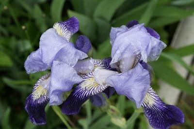 Schwertlilie - Iris