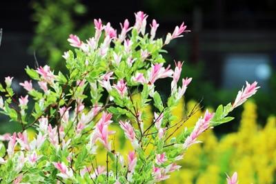 Blüten der Harlekinweide