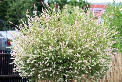 Harlekinweide-Salix-integra
