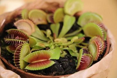 Venusfliegenfalle - Dionaea muscipula