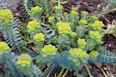 Vielfarbige Wolfsmilch - Euphorbia epithymoides