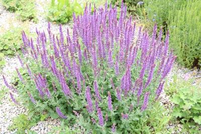 Ziersalbei-Salvia-Nemorosa