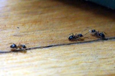 Ameisen in der Wohnung