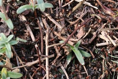 Ameisen umsiedeln - Waldameisen