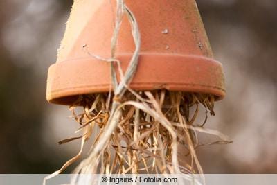Blumentopf zum Umsiedeln von Ohrwürmern