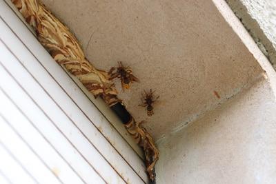 Wespen im Rollladenkasten