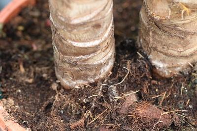 Blick auf Topf und Substrat einer Yucca-Palme