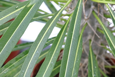 Blätter der Madagaskarpalme