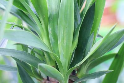 Gesunde Yucca-Palme