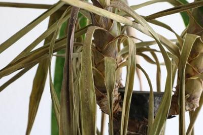 Yucca Palme mit braunen Blättern