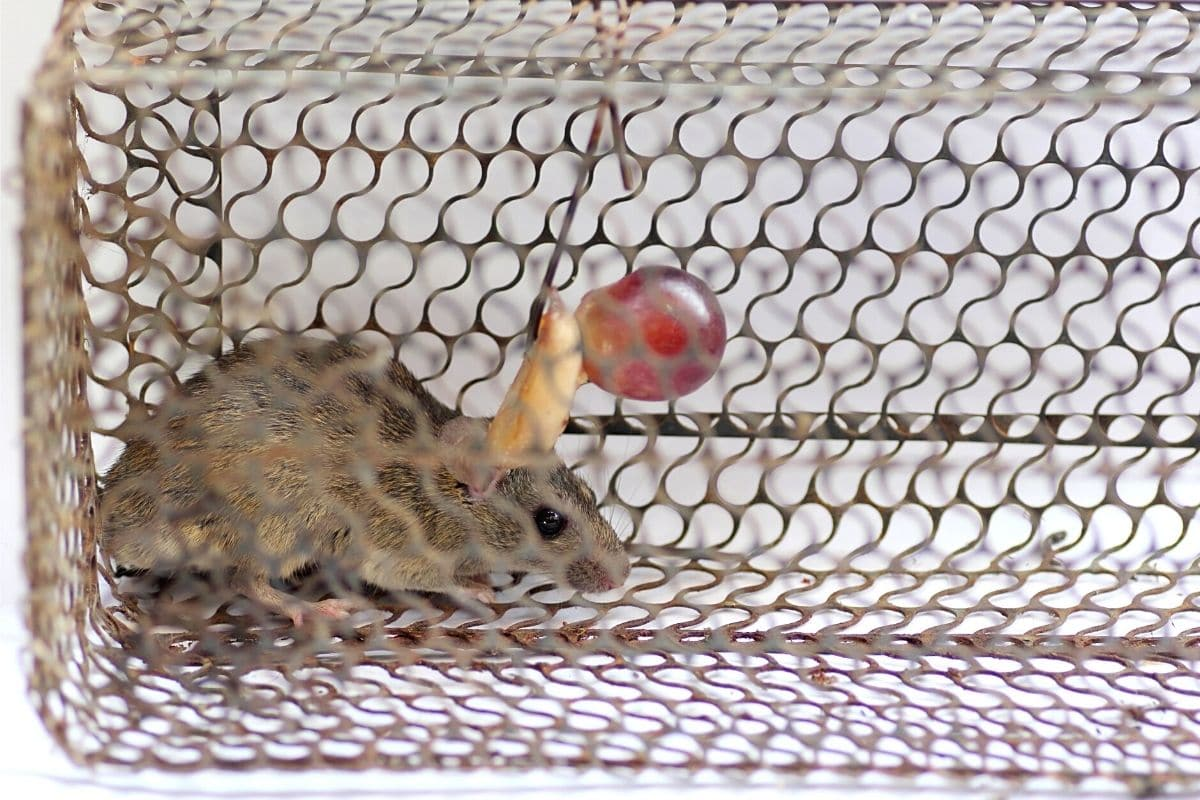 Rattenbekämpfung ohne Gift - Lebendfalle
