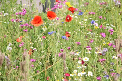 Mohnblume auf Blumenwiese