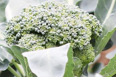 Brokkoli - Broccoli