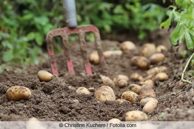 Kartoffelernte mit Grabegabel