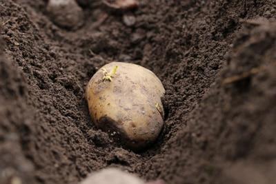 Einzelne Kartoffel in Erde
