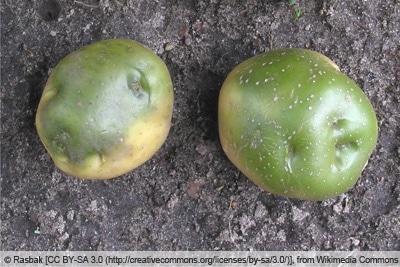 Grüne Kartoffel auf Erdboden