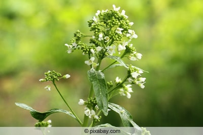 Meerrettich-Blüte