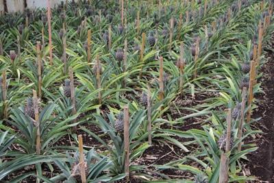 Ananas - Ananas Comosus