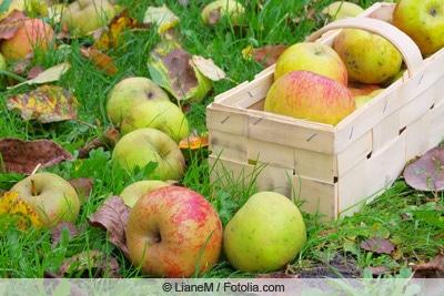 Alte Apfelsorte 'Boskop'