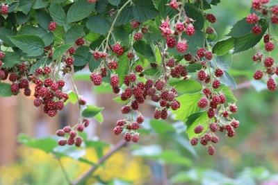 Brombeeren - Rubus