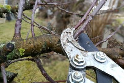 Obstbaum auslichten