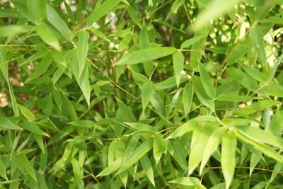 Bambus - Schirmbambus - Fargesia murielae