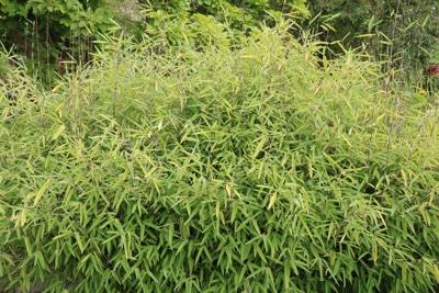 Bambus - Fargesia nitida