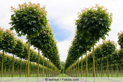 Kugel-Ahorn - Acer platanoides 'globosum'