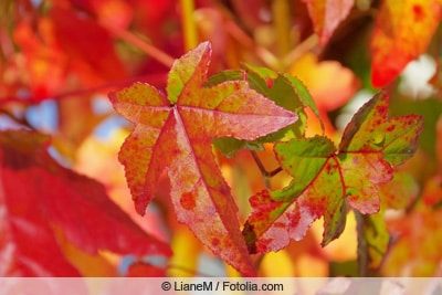 Prachtvolles Laub im Sommer /& Herbst Winterh Amberbaum