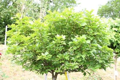 Sumpf-Eiche - Quercus palustris