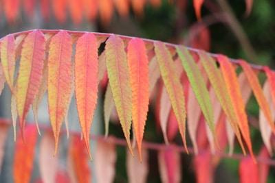 Essigbaum mit Herbstlaub