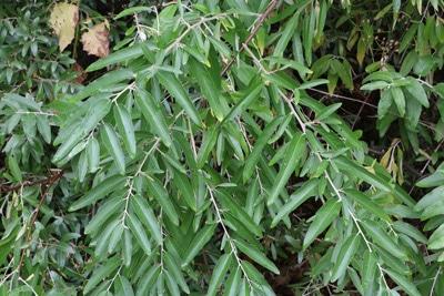 Schmalblaettrige Ölweide - Elaeagnus angustifolia