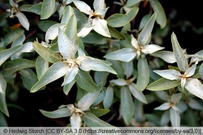 Silber-Ölweide - Elaeagnus commutata