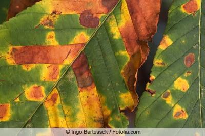 Minimiermotte an Kastanienblättern