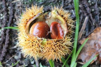 Früchte der Kastanie