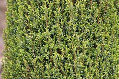Säulenwacholder - Juniperus scopulorum