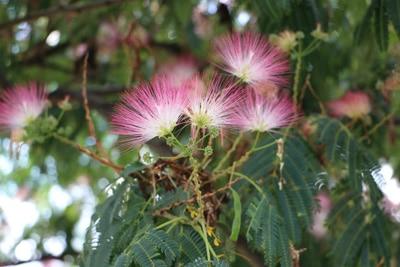 Blüten des Seidenbaums