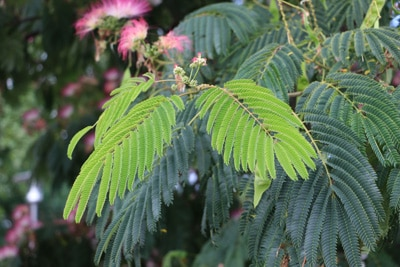 Seidenbaum - Schlafbaum