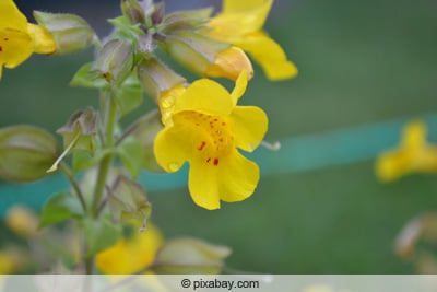 Gauklerblume - Mimulus moschatus