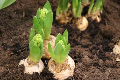 Hyazinthe - Frisch gepflanzte Zwiebeln