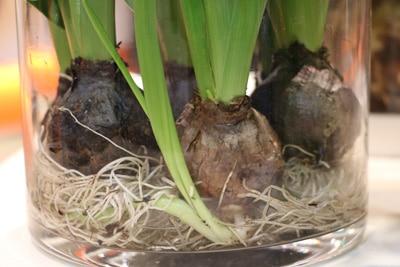 Hyazinthe - Hyacinthus
